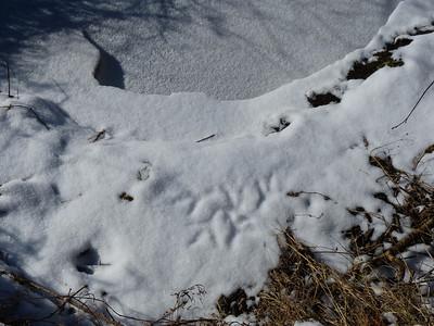 Great Blue Heron - tracks