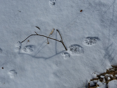 Fisher - tracks (and smaller tracks of Ermine)