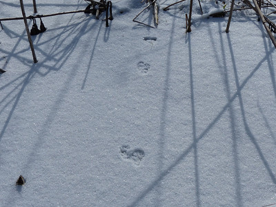 Ermine - tracks and trail
