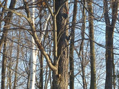 Red-bellied Woodpecker, Hairy Woodpecker, Downy Woodpecker