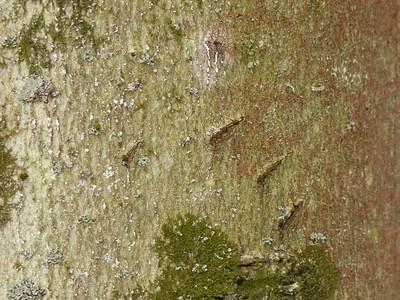 Black Bear - claw marks