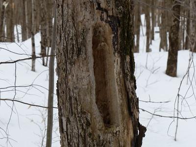 Pileated Woodpecker - hole
