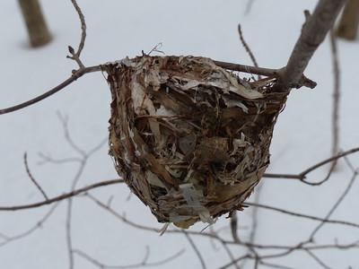 Red-eyed Vireo - nest
