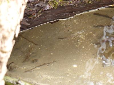 "Brook Trout - 1"" swim-up fry (near photo centre)"
