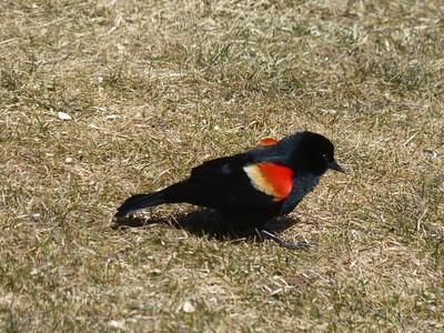 Red-winged Blackbird - male beginning its display