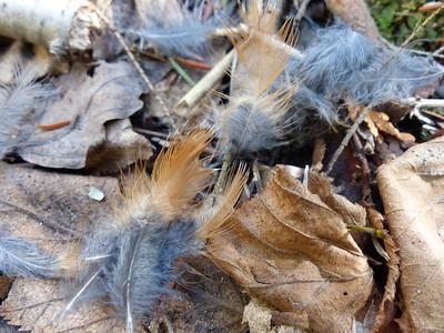 American Robin - rufous breast feathers