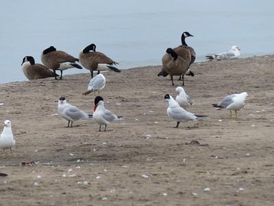 Caspian Terns, Gulls and Geese.