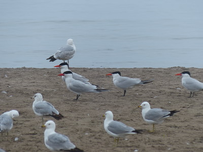 Caspian Terns in middle, lone Herring Gull along water and Ring-billed Gulls in foreground.