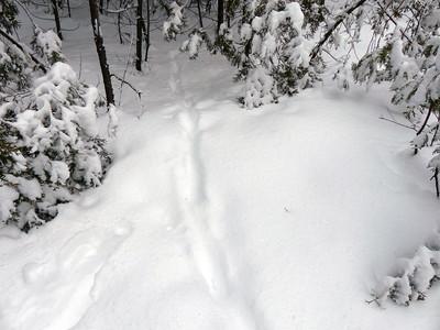 Coyote - trail