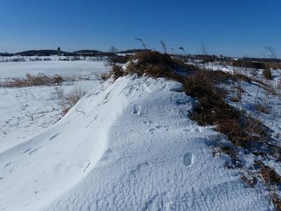 Coyote - scrape and tracks