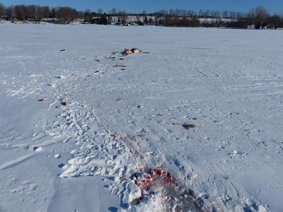 White-tailed Deer - kill site, carcass drag marks