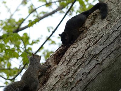 Eastern Gray Squirrel - juveniles