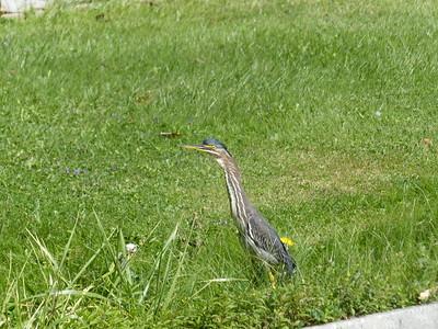 Green Heron - juvenile