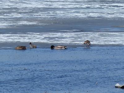 Green-winged Teal - smaller ducks along ice edge. Also in photo - Mallard pair.