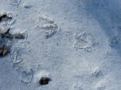 Canada Goose - tracks. Smaller Mallard tracks show on left side of photo.