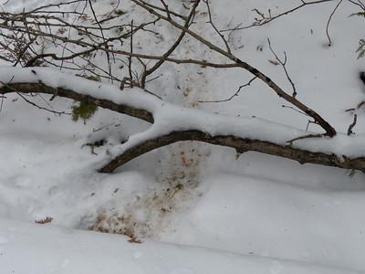 Porcupine - tracks and trail