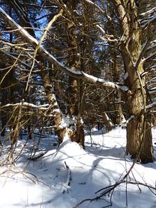 Eastern Hemlock tree with Porcupine near the top