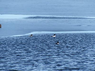 Common Merganser - pair near ice