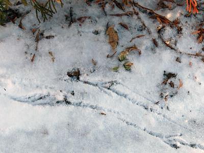 Common Grackle - tracks