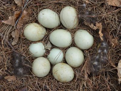 Mallard - nest with 10 eggs