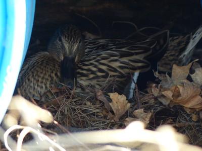 Success - female Mallard back on the nest