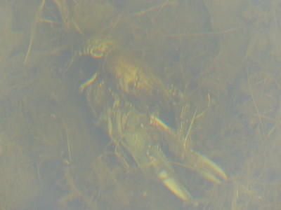 Virile Crayfish - mating