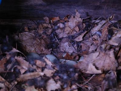Mallard - nest