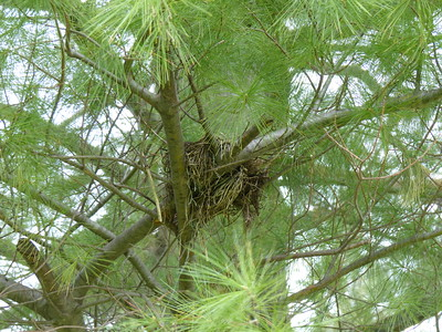 Mourning Dove - nest