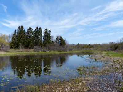 Pond near Wicklow Point with Mute Swan nest