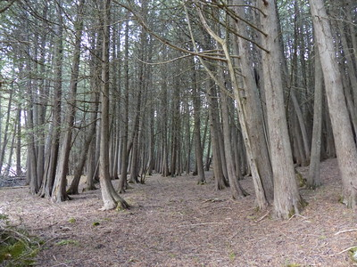 Eastern White Cedar forest