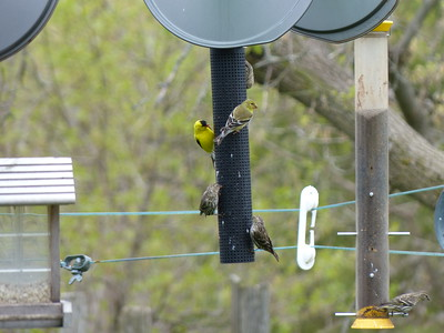 American Goldfinch and Pine Siskin at bird feeder
