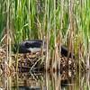 Common Loon on nest