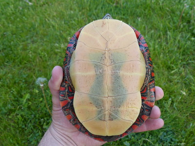 Midland Painted Turtle - note the dark blotch on the plastron typical for the Midland subspecies