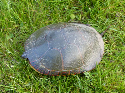 Midland Painted Turtle