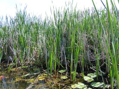 Marsh Wren - nest