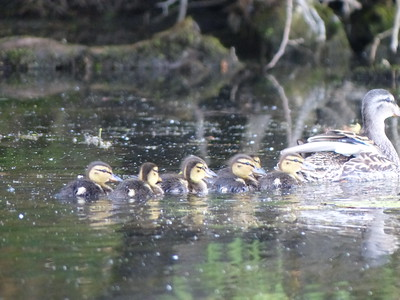 Mallard - female with juveniles