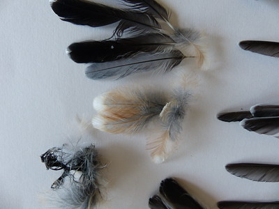 White-breasted Nuthatch - feathers