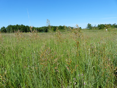Hay grasses were well developed while the wild tall grasses were farther behind
