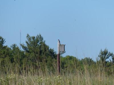 Eastern Bluebird at nesting box