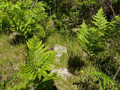 Gray Reindeer Lichen located between ferns.