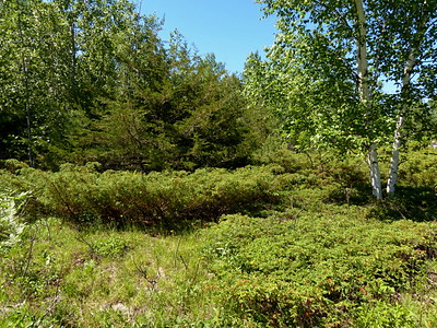 Common Juniper, Eastern Red Cedar and White Birch