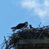 Osprey - adult feeding three nestlings