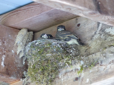 Eastern Phoebe - nest and nestlings. The nest shows characteristic use of moss for nest materials. (note the mud nests to the left are from the Organ Pipe Mud Dauber - a wasp)