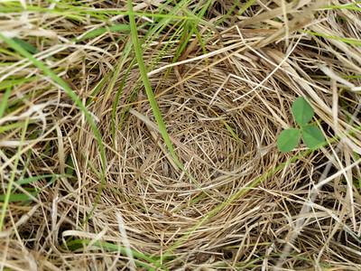 """Savannah Sparrow - nest, inside bottom 2.5"""" wide"""