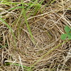 "Savannah Sparrow - nest, inside bottom 2.5"" wide"