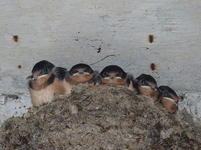 Barn Swallow - nest and nestlings