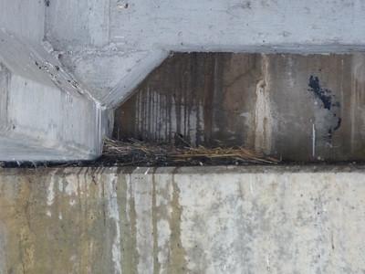 Rock Pigeon - nest
