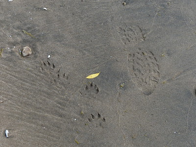 Domestic Dog and Human tracks going in opposite directions