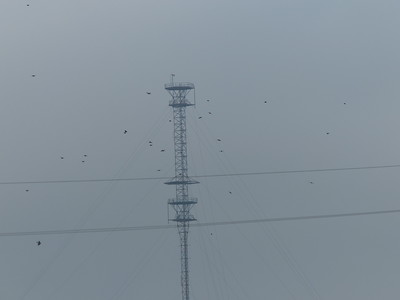 Blue Jays were migrating. This is one of many flocks seen flying by during our walk.