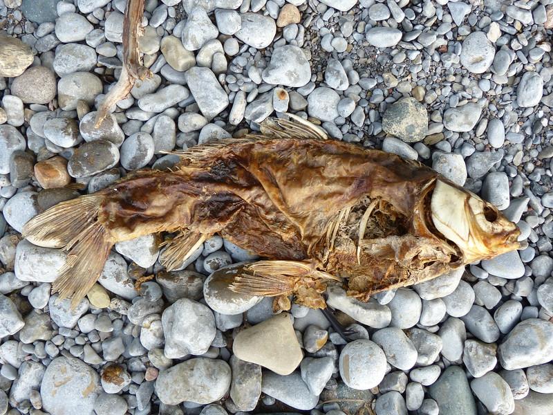 Common Carp - carcass